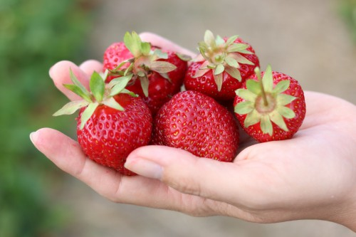 Erdbeerzeit: Genusstraining auf dem Feld